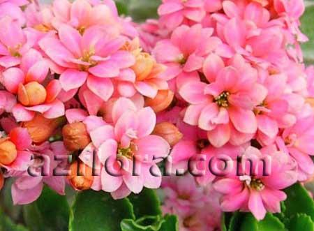 каланхоэ, Kalanchoes blossfeldiana, каланхоэ блоссфельда