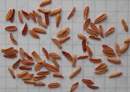 пахиподиум семена, pachypodium seeds