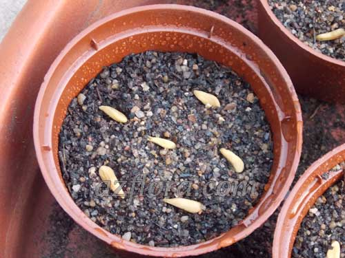 пахиподиум семена, pachypodium seeds