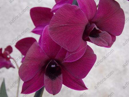 Дендробиум фаленопсис, Dendrobium Phalaenopsis