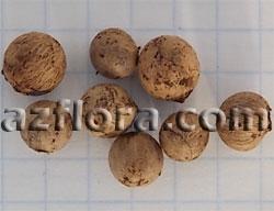 Хамедорея семена