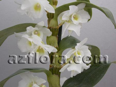 Дендробиум, орхидея. Уход в домашних условиях. Dendrobium. Фото