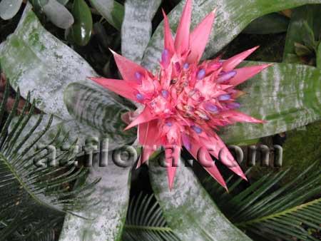 комнатные растения фото и названия бромелиевые