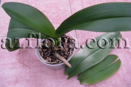 размножение орхидеи шаг1