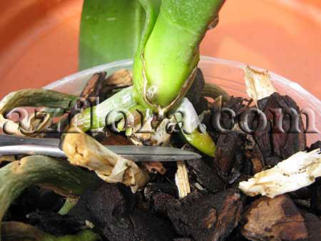 размножение орхидеи фаленопсис шаг 3