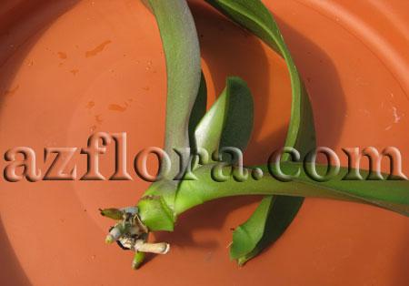 размножение орхидеи черенками шаг 4