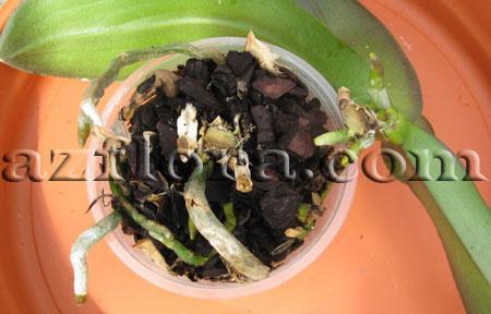 размножение фаленопсиса шаг 5