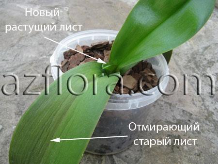 Фаленопсис - размножение черенком