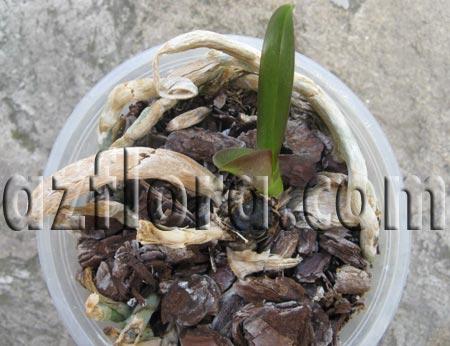 Фаленопсис - молодое растение из корня
