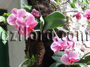 Фаленопсисы - самые неприхотливые из орхидей