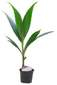 кокос домашний