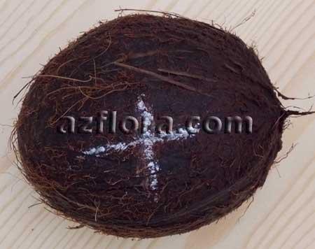 проращиваем кокос