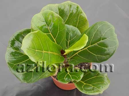 Фикус лировидный, Ficus Lyrata