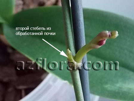 фаленопсис размножение, phalaenopsis propagation keiki