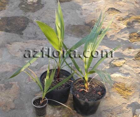 пальма пересадка