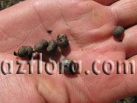 Семена трахикарпуса