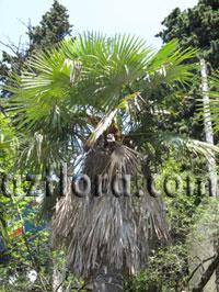 Трахикарпус - обрезка листьев