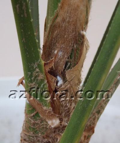 трахикарпус вредители, trachycarpus problems