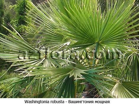 washingtonia robusta, вашингтония мощная